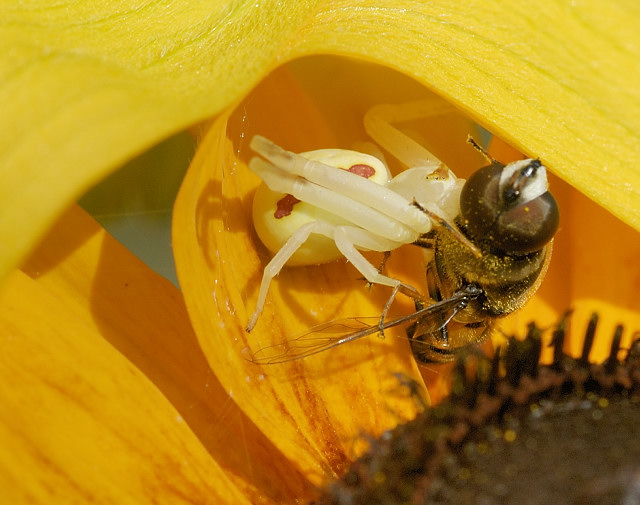 Spider Eats Bee