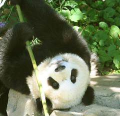 Backward boo style (somesai) Tags: panda upsidedown tian tai round nationalzoo endangered chin ts pandas meixiang taishan dczoo butterstick pandaunlimited