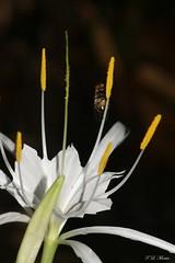 Spider Lily (tlmartinsr) Tags: usa 6 white al unitedstates alabama northamerica spiderlily liliaceae wfgna hymenocallis fbg hymenocallisoccidentalis northwestalabama hymenocalliscaroliniana carolinaspiderlily tepals