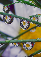 drops of daisies (Steve took it) Tags: macro nature drops refraction waterdrops bokehsoniceaugust abigfave bokehsoniceaugust15