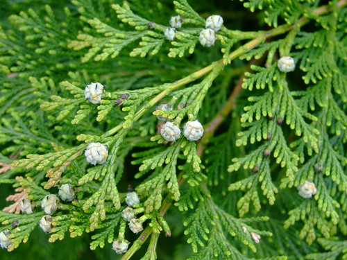leyland cypress cones DSCF7563 | Flickr - Photo Sharing!
