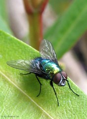 Lucilia caesar / groene vleesvlieg / Green bottle fly ( Annieta  Off / On) Tags: holland color green nature netherlands dutch canon wow wonderful bug garden insect ilovenature fly interestingness perfect groen colore outdoor couleurs insects scout 2006 bugs best powershot explore excellent g2 tuin myfavorites mybest insekt paysbas couleur allrightsreserved insekten 1on1 vlieg powershotg2 canonpowershotg2 23september mpf interestingness487 i500 specnature annieta theworldthroughmyeyes thebiggestgroup kakadoo multicoloredobject specanimal newphotographer abigfave supershots onlyyourbestshots 1on1allbugs bochoven vanbochoven dontusethisphotowithoutmypermission dontusethisphotowithoutpermission usingthisphotowithoutpermissionisillegal