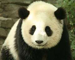 Mini-Tian (somesai) Tags: smile animal animals panda tai round nationalzoo endangered ts pandas taishan dczoo butterstick fface