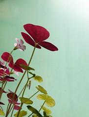紫葉酢漿草 (from 美嬌娘) (Chrischang) Tags: plant flower balcony 2006 clover 酢醬草 minigarden myplant myflower 20060828 紫葉酢醬草 thanq home500 balcony500 thanks2huatang