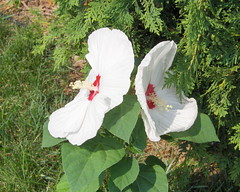 Hybiscus white (hellsflowers) Tags: white hybiscus