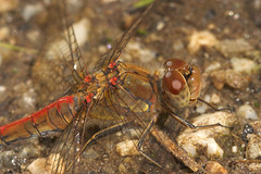 """Common Darter Dragonfly (Sympetrum s(28) • <a style=""""font-size:0.8em;"""" href=""""http://www.flickr.com/photos/57024565@N00/231600400/"""" target=""""_blank"""">View on Flickr</a>"""