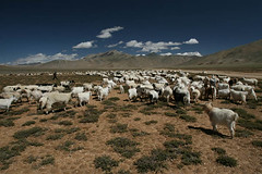 Sheep Grazing at Morre Plains near Pang, Manali-Leh Highway (Captain Suresh Sharma) Tags: travel blue sky brown india white mountains nature clouds walking landscape photography photo big holidays peace sheep feeding walk wideshot group wide pasture huge pastures leh herd grazing shephard ladakh laddakh moreplains morreplains