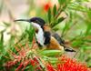 EASTERN SPINEBILL Acanthorhynchus tenuirostris (beeater) Tags: birds act easternspinebill acanthorhynchus acanthorhynchustenuirostris