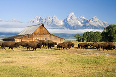 Stampede! (Robby Edwards) Tags: vacation mountains animals fog tag3 taggedout barn nationalpark buffalo bravo tag2 tag1 quality wildlife wyoming bison herd grandteton grandtetonnationalpark payitforward mormonrow specland specnature moultonbarn abigfave impressedbeauty frhwofavs