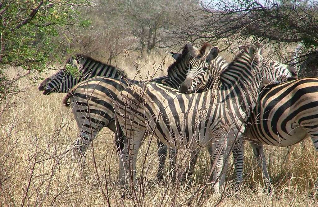 zebra's (Kruger Park)
