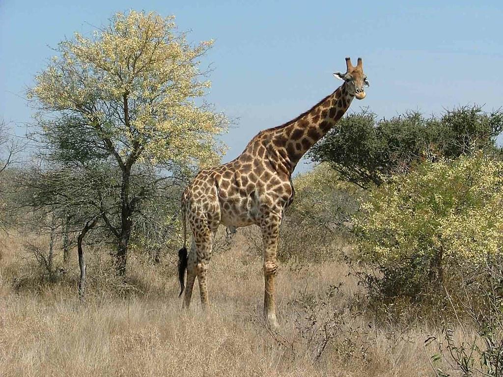 giraffe (Kruger Park)