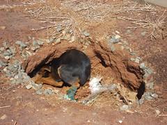 Dog in grave