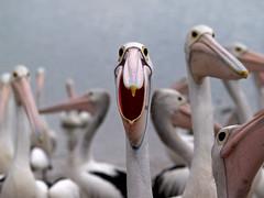 Smile for the Camera (Cyron) Tags: bird pelicans geotagged photo labrador flickrimportr australia 2006 pelican queensland zuiko cyron goldcoast pelecanus australianpelican pelecanusconspicillatus zd 40150mm pc4215 geo:tool=gmif 40150mmf3545 geo:lat=27941176 geo:lon=153408671 matchpointwinner ccsalonremix ccsalonexhibit taxonomy:class=aves birdshowcase taxonomy:kingdom=animalia taxonomy:phylum=chordata taxonomy:order=pelecaniformes taxonomy:family=pelecanidae taxonomy:genus=pelecanus taxonomy:species=conspicillatus taxonomy:binomial=pelecanusconspicillatus taxonomy:common=australianpelican