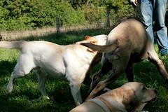 IMG_3684 (keegi) Tags: dog pets playing dogs puppy labrador play englishmastiff mastiff oldenglishmastiff