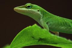 (Martha Catherine Ivey) Tags: shadow foot leaf lizard inmyyard specnature