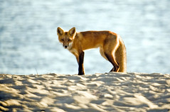 6:01pm - Fox on Hardings Beach
