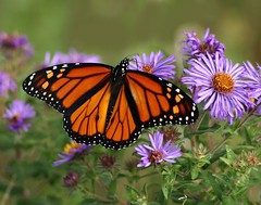 Monarch nectaring on Aster (nature55) Tags: flowers nature wisconsin butterfly outdoors shots insects lepidoptera monarch aster outstanding widllife outstandingshots abigfave 7interestingness