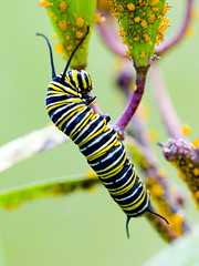 The Last Monarch (J Gilbert) Tags: newjersey caterpillar monarch milkweed aphid somersetcounty 50v5f lordstirling monarchbutterflycaterpillar bokehsoniceseptember bokehsoniceseptember17