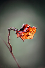 (Grace_L) Tags: autumn red macro nature digital fire leaf nikon close d70s dry withered endofsummer autumnusuredidyounoticehowactuallyhotitis
