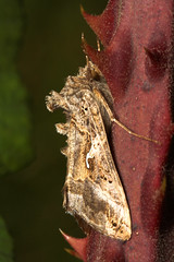 """Silver Y Moth (Autographa gamma) • <a style=""""font-size:0.8em;"""" href=""""http://www.flickr.com/photos/57024565@N00/248217816/"""" target=""""_blank"""">View on Flickr</a>"""