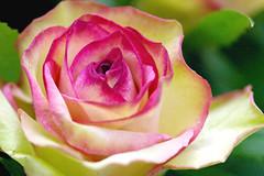 rose upperrose