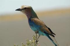 Lilac Breasted Roller (tim ellis) Tags: holiday africa namibia shongololo etosha animal bird roller lilacbreastedroller coraciascaudata photofriday specanimal bigpicture2008 coraciascaudatus msh0519 msh05196