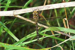 """Common Hawker Dragonfly (Aeshna junce(2) • <a style=""""font-size:0.8em;"""" href=""""http://www.flickr.com/photos/57024565@N00/249790292/"""" target=""""_blank"""">View on Flickr</a>"""