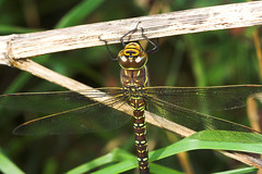 """Common Hawker Dragonfly (Aeshna junce(1) • <a style=""""font-size:0.8em;"""" href=""""http://www.flickr.com/photos/57024565@N00/249790482/"""" target=""""_blank"""">View on Flickr</a>"""