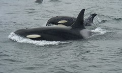 Motherly Harmony (Orcasforever) Tags: 15fav baby canada bc orca calf killerwhale grampus blackfish voicesinthewilderness johnstonestrait orque