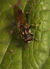 """Hoverfly (Xylopa segnis) • <a style=""""font-size:0.8em;"""" href=""""http://www.flickr.com/photos/57024565@N00/254037864/"""" target=""""_blank"""">View on Flickr</a>"""