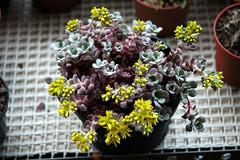 Sedum spathulifolium 'Cape Blanco'-2006 (asac_cactus) Tags: sedum sedumspathulifolium fatimatorres