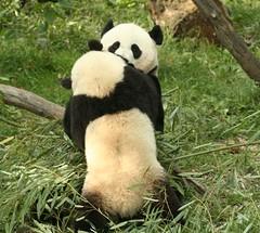 Mei: oh dear (somesai) Tags: animal animals smithsonian panda tai endangered pandas taishan dczoo butterstick pandasunlimited