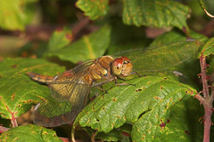 "Common Darter Dragonfly (Sympetrum st(3) • <a style=""font-size:0.8em;"" href=""http://www.flickr.com/photos/57024565@N00/259862778/"" target=""_blank"">View on Flickr</a>"