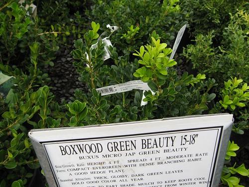 image Buxus microphylla