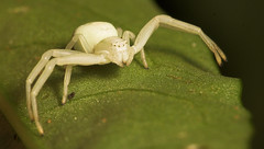 """Crab Spider (Misumena vatia) • <a style=""""font-size:0.8em;"""" href=""""http://www.flickr.com/photos/57024565@N00/260563107/"""" target=""""_blank"""">View on Flickr</a>"""