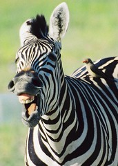 Happy (hvhe1) Tags: africa wild nature southafrica ilovenature happy wildlife safari zebra hennie animaladdiction specanimal abigfave hvhe1 hennievanheerden