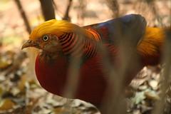 golden pheasant (iamtonyang) Tags: china mountain bird golden pheasant guilin shan brocade guangxi diecai