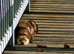 Autumn Otter On The Boardwalk (shesnuckinfuts) Tags: autumn pond wildlife gazebo otter trust boardwalk wa furryfriday washingtonstate otters animalplanet backyardpond kentwa animaladdiction otterfamily shesnuckinfuts washingtonstatewildlife