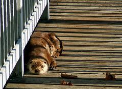 Autumn Otter On The Boardwalk (shesnuckinfuts) Tags: autumn pond wildlife gazebo otter trust boardwalk wa furryfriday washingtonstate otters animalplanet backyardpond kentwa animaladdiction otterfamily shesnuckinfuts washingtonstatewildlife