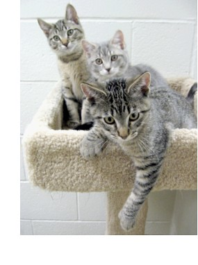 Trio of Tabby Kittens
