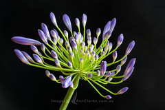 Agapanthus (Images by Ann Clarke) Tags: macro flower purple agapanthus