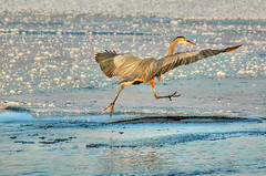 runner1.20 (Steven Ford / snowbasinbumps) Tags: sports birds utah ardea blueheron waterfowl ogden herodias specanimal abigfav fordesign topofutah onmigration stevenford farmingtonbayrefuge lifeelevated snowbasinbumps fordesignnet utahtravel westerntravel