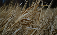 Angled Landscape with Grasses (MaureenShaughnessy) Tags: winter wild cold field grass 510fav montana seasons meadow grasses thebigsky rebelxt brownbeige mutedcolors brrr subtlecolors utatadrawslines thelastbestplace seasonalrhythmswinter seasonaltexture seasonalrhythmstexture
