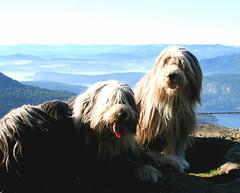 Beardies on Mt Maxwell