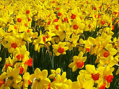 Springtime wallpaper (Ennor) Tags: uk flower spring flora cornwall 2006 daffodil april kernow specnature favoritegarden
