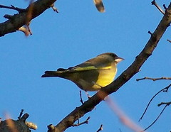 Greenfinch by Albion Channel
