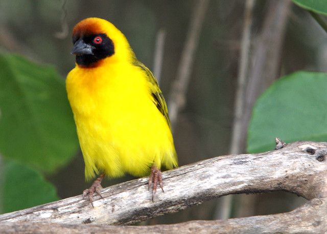 Yellow Bird at Olduvai Gorge