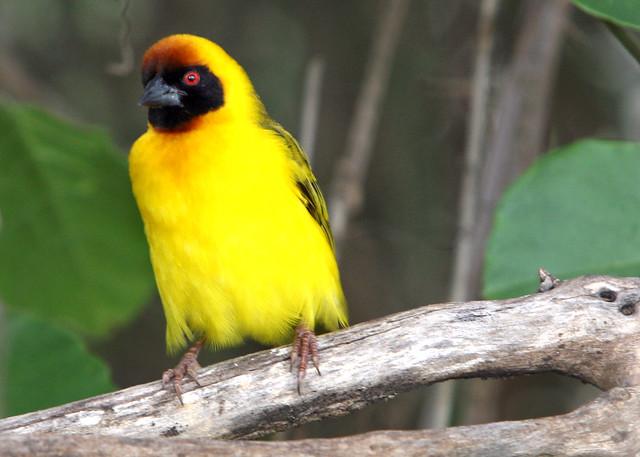 Yellow Bird at Olduvai Gorge