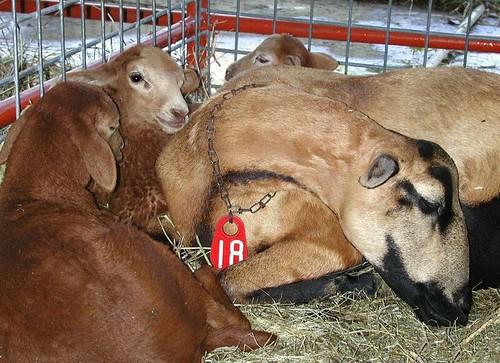 most hair sheep breeds