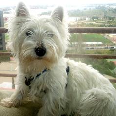 Westie posando frente a ventana